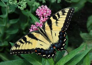 Tiger_Swallowtail_Butterfly